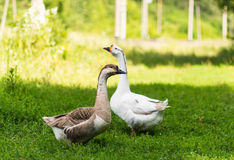 Geese grazing in the meadow Royalty Free Stock Image
