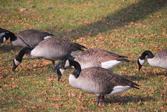 Geese grazing in the park Stock Image