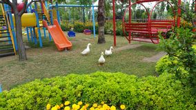 Geese. On the green grass in summer on the playground Stock Photos