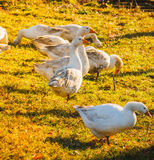 Geese On Green Grass Stock Photography