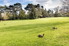 Geese on a green lawn Stock Images