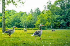 Geese in green nature Royalty Free Stock Photography