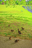 Geese in Green Park of Audley End House in Essex Stock Photo
