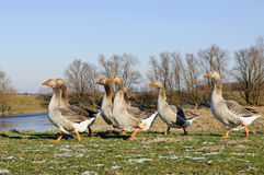 Geese on the ground in wintertime Royalty Free Stock Photo