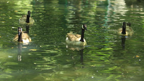 Geese group Stock Photography
