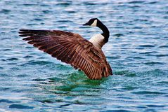 Geese. Are a group of aquatic birds of the family Anatidae. Larger than the ducks and smaller than the swans Stock Photos