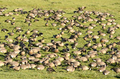 Geese Group Stock Images
