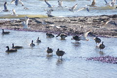 Geese and gulls. Royalty Free Stock Image
