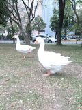 Geese. Happy strolling with it's pal, shoot in chung shing uni Stock Images