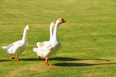 Geese have got themselves a bit of a bad reputation as being lar Stock Photography