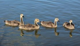 Geese. Here are four baby geese enjoying the day Stock Photography