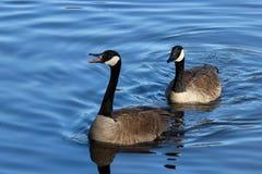 Geese Honking stock photos