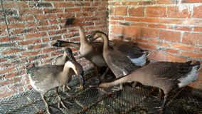 Geese in house stock video