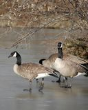 Canada geese on frozen pond. Three Canada geese walking on frozen surface of Brandt Creek Pond, British Columbia, Canada Royalty Free Stock Photos