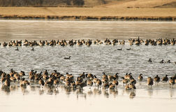 Geese On Ice Stock Photography