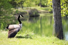Geese In The Park Royalty Free Stock Photography