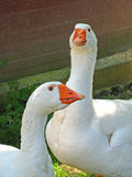 Geese 01 Royalty Free Stock Images