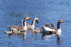 Geese on the lake Royalty Free Stock Images