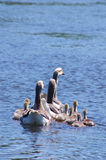Geese on the lake Royalty Free Stock Photo