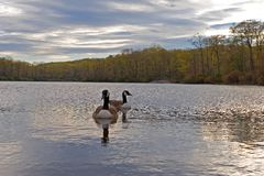 Geese on the lake Stock Image
