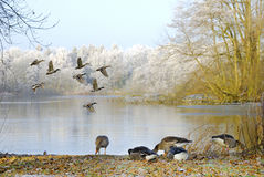 Geese on lake Royalty Free Stock Photography