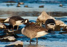 Geese on lake Stock Photography