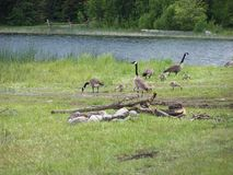 Geese lake camp scenic Royalty Free Stock Images