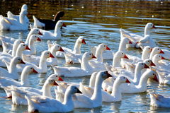 Geese on lake Royalty Free Stock Images
