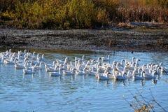 Geese on lake Royalty Free Stock Image