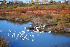 Geese on lake Stock Photos