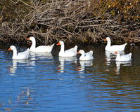 Geese on lake Stock Images