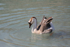 Geese on Lake Kournas, Crete Royalty Free Stock Image