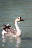 Geese on Lake Kournas, Crete Royalty Free Stock Photo