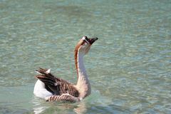 Geese on Lake Kournas, Crete Stock Photos
