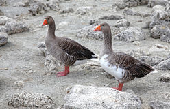 Geese at lake Kournas at island Crete Royalty Free Stock Photography