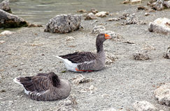 Geese at lake Kournas at island Crete Royalty Free Stock Photo