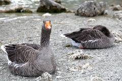 Geese at lake Kournas at island Crete Stock Photos
