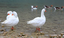 Geese at lake Kournas at island Crete Royalty Free Stock Photos