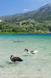 Geese at lake Kournas at island Crete, Greece Royalty Free Stock Photo