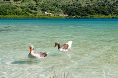 Geese at lake Kournas at island Crete, Greece Royalty Free Stock Images