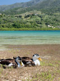 Geese at lake Kournas at island Crete, Greece Stock Images