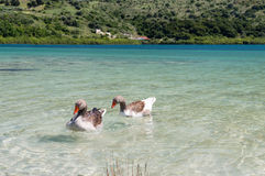 Geese at lake Kournas at island Crete, Greece Royalty Free Stock Image