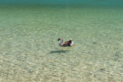 Geese at lake Kournas at island Crete, Greece Stock Photo