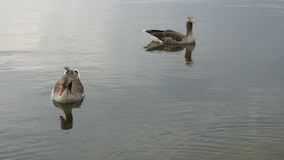 Geese on a lake. In the morning Royalty Free Stock Photo
