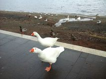 Geese on the lake shore Stock Images
