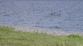 Geese lake (with sound) Royalty Free Stock Photo