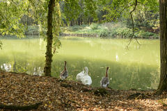 Geese by lake in Villa Reale park, Monza, Italy Stock Image
