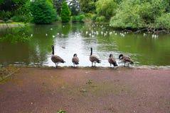 Geese on lake. In wolverhampton City Stock Image