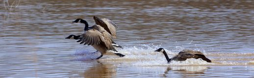 Geese landing Royalty Free Stock Images