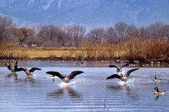 Geese Landing on a Lake. Canadian geese landing on a pond in New Mexico with blue mountains in the background Royalty Free Stock Photo